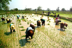 Agricoltore del Myanmar che lavora nella risaia Fotografia Stock