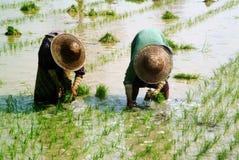 Agricoltore del Myanmar che lavora nella risaia Fotografie Stock Libere da Diritti