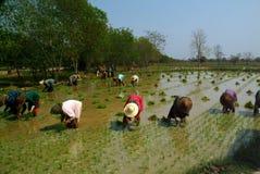 Agricoltore del Myanmar che lavora nella risaia Fotografia Stock Libera da Diritti