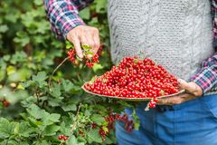 Agricoltore del pensionato in piatto della tenuta del giardino in pieno del ribes rosso Fotografia Stock Libera da Diritti