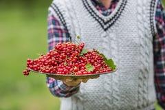 Agricoltore del pensionato in piatto della tenuta del giardino in pieno del ribes rosso Immagine Stock Libera da Diritti