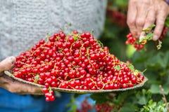 Agricoltore del pensionato in piatto della tenuta del giardino in pieno del ribes rosso Fotografie Stock