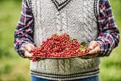 Agricoltore del pensionato in piatto della tenuta del giardino in pieno del ribes rosso Fotografia Stock