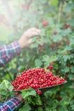 Agricoltore del pensionato in piatto della tenuta del giardino in pieno del ribes rosso Fotografie Stock Libere da Diritti