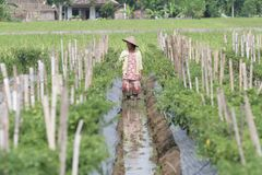 Agricoltore del peperoncino rosso Fotografie Stock Libere da Diritti