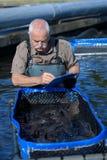 Agricoltore del pesce che ispeziona crescita del pesce Fotografia Stock Libera da Diritti
