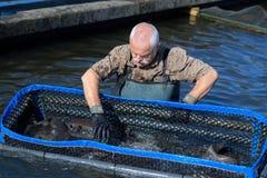 Agricoltore del pesce che ispeziona crescita del pugno Fotografie Stock