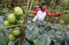 Agricoltore del pomodoro Fotografia Stock Libera da Diritti