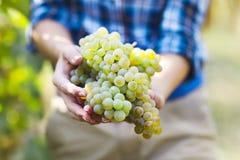 Agricoltore del raccolto dell'uva con l'uva appena raccolta fotografia stock
