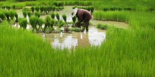 Agricoltore del riso Fotografia Stock