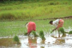 Agricoltore del riso. Fotografie Stock