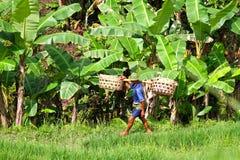 AGRICOLTORE DEL RISO IN BALI Fotografia Stock