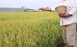 Agricoltore del riso che usando il fertilizzante dell'azoto Fotografia Stock Libera da Diritti