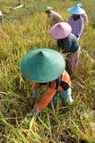 Agricoltore del riso di agricoltura 04 Immagine Stock