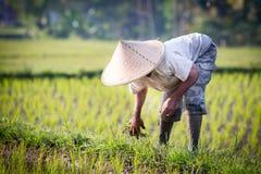 Agricoltore del riso di balinese Fotografie Stock