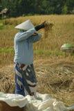 Agricoltore del riso di balinese che vaglia riso Fotografia Stock