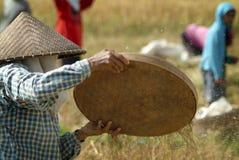 Agricoltore del riso di balinese che vaglia riso Fotografie Stock Libere da Diritti