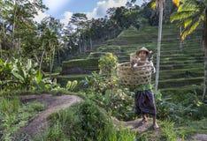 Agricoltore del riso di balinese sul giacimento del riso Immagini Stock