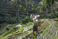 Agricoltore del riso di balinese sul giacimento del riso Fotografia Stock