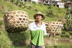 Agricoltore del riso di balinese sul giacimento del riso Immagine Stock