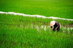 Agricoltore del riso nel campo Fotografie Stock Libere da Diritti