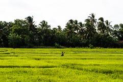 Agricoltore del riso nella regione di Sri Lanka's Trincomalee Fotografie Stock