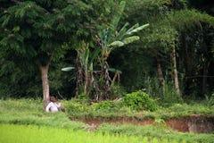 Agricoltore del riso nella valle di Harau in Sumatra ad ovest, Indonesia Immagine Stock