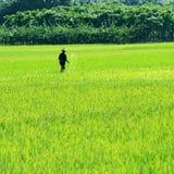 Agricoltore del riso sul lavoro Immagine Stock Libera da Diritti