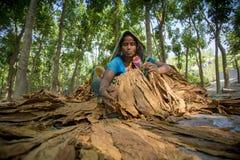 Agricoltore del tabacco della donna che lavora nel sito del manikganj fuori di Dacca Immagini Stock