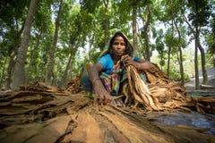 Agricoltore del tabacco della donna che lavora nel sito del manikganj fuori di Dacca Fotografie Stock