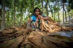 Agricoltore del tabacco della donna che lavora nel sito del manikganj fuori di Dacca Fotografia Stock