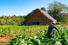 Agricoltore del tabacco nel campo di tabacco sul lavoro Immagini Stock