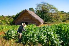 Agricoltore del tabacco nel campo di tabacco sul lavoro Fotografia Stock