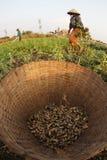 Agricoltore dell'arachide Fotografie Stock