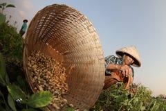 Agricoltore dell'arachide Fotografia Stock