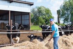 Agricoltore dell'uomo che lavora all'azienda agricola con le mucche da latte Immagini Stock