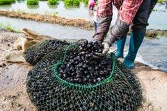 Agricoltore della mano che raccoglie waternut nel campo Immagini Stock Libere da Diritti