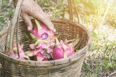 Agricoltore della mano e frutta del drago Fotografia Stock