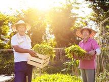 Agricoltore delle coppie che lavora nell'azienda agricola di verdure Immagine Stock
