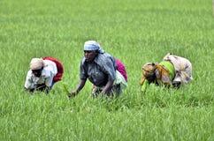 Agricoltore delle donne Fotografia Stock