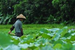 Agricoltore dello stagno di Lotus Fotografie Stock