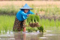 Agricoltore di Karen che pianta nuovo riso Fotografie Stock