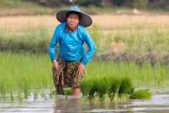 Agricoltore di Karen che pianta nuovo riso Immagini Stock Libere da Diritti