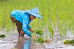Agricoltore di Karen che pianta nuovo riso Immagini Stock