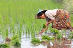 Agricoltore di Karen che pianta nuovo riso Fotografia Stock