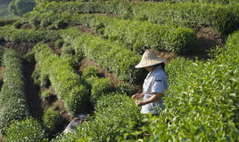 Agricoltore di tè Immagine Stock Libera da Diritti