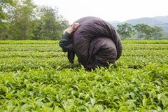 Agricoltore di tè asiatico che porta un pacchetto di tè Immagine Stock