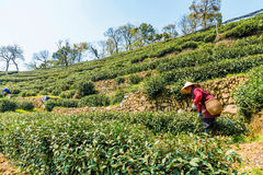 Agricoltore di tè della signora anziana in Longjing Fotografia Stock