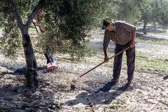 Agricoltore durante la campagna di oliva in un campo di di olivo Fotografia Stock
