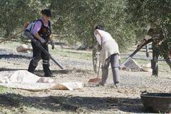 Agricoltore durante la campagna di oliva in un campo di di olivo Immagini Stock Libere da Diritti